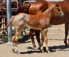 2017 Red Roan Filly DGJ X Eyes A Lady Two