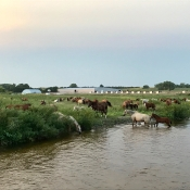 Mares and foals at the Cedar River